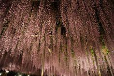 Ashikaga Flower Garden in Japan This has been featured in CNN as a dream  destination 2014. http://edition.cnn.com/2013/12/25/travel/cnn-travel-2014-wish-list/