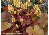 Heuchera 'Blondie' - Alunrod