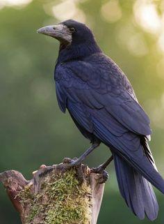 candy cane christmas holiday spirit animal figurine crow Raven