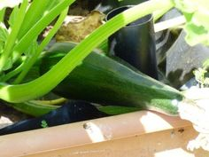 Zucchini Container Care: Tips For Zucchini Grown In Containers - If you love zucchini but you're short on gardening space, consider zucchini grown in containers. Growing zucchini in container gardens on your patio or balcony isn't as difficult as you might think. Click this article to learn more.