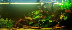 My semi black water aquarium