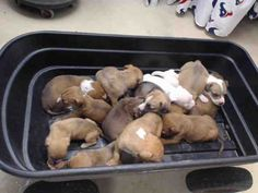 06/15/16--HOUSTON- -EXTREMELY HIGH KILL FACILITY -This DOG - ID#A461561 MEDICAL RESCUE!These 4 week old puppies came in to the shelter today (6/14), hungry, dehydrated, and full of fleas & worms. The shelter staff is doing what they can, and they're eating like crazy! Approved medical rescues can take them now, but any approved rescue can pull them after close of business on 6/17. They are too young and in need of medical attention to get adopted.