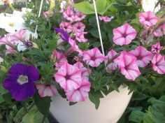 Pink star petunia, very showy with darker pink striping & no dead heading Pink Stars, Hanging Baskets, Petunias, Flowers, Plants, Fall Hanging Baskets, Florals, Planters, Flower