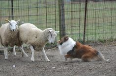 Herding is what I do, so you're not going to win Sheep Dogs, Doggies, Dogs And Puppies, Rough Collie, Collie Dog, Scotch Collie, Sheep And Lamb, Cray Cray, Great Pyrenees