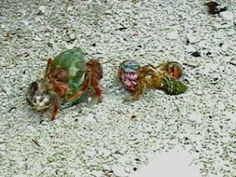 hermit crabs line up in size order when shells become available to trade up.