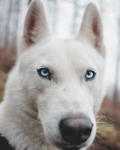 Wonderful All About The Siberian Husky Ideas. Prodigious All About The Siberian Husky Ideas. Alaskan Husky, Siberian Husky Dog, Animals And Pets, Cute Animals, Wolf Husky, Cute Husky, Best Dog Photos, Dog Travel, Dog Hacks
