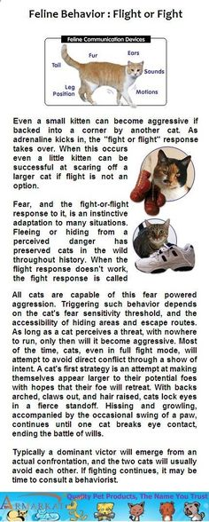 """Feline Behavior: Flight or Fight - Even a small kitten can become aggressive if backed into a corner by another cat. As adrenaline kicks in, the """"fight or flight"""" response takes over. Small Kittens, Little Kittens, Fight Or Flight Response, No Response, Cat Body, Kitten Care, Cat Behavior, Domestic Cat, Fur Babies"""