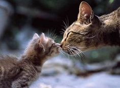 The Purr-fect Kiss - Click to see loads of great pictures of cats and kittens to brighten your day.