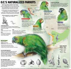 Parrots are facing a global conservation crisis. Habitat destruction in their native lands and exploitation for international trade has caused them to be one of the most threatened groups of birds … Parrot Rescue, Habitat Destruction, How To Create Infographics, Wild Birds, Tropical Fish, Conservation, South America, Habitats, Parrots