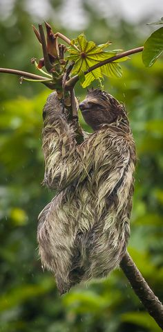 "A Sloth, braving the weather in Tortuguero, Costa Rica. ""Next time, I should find a larger leaf""💦 Honduras, Rainforest Trees, Rent A Villa, Countries In Central America, Costa Rica Travel, Like Animals, Caribbean Sea, Orangutan, Pacific Ocean"