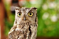 Space Photos, Space Images, Western Screech Owl, Cool Photos, Beautiful Pictures, Graphic Illustration, Illustrations Posters, Westerns, Wildlife