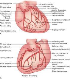 picture of the coronary arteries Nursing Board, Nursing Tips, Nursing Notes, Cath Lab Nurse, Coronary Circulation, Arteries Anatomy, Interventional Radiology, Heart Anatomy, Cardiac Nursing