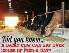 29 facts about dairy via @dairycarrie. Animal Science, Science Fair, Cow Facts, Farm Animals, Cute Animals, All Things Wild, Dairy Cattle, Agriculture, Farming