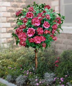 Double Red Hardy Hibiscus Tree by Cottage Farms Direct on #zulily