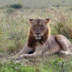 Nairobi, Lion, Animals, Leo, Animales, Animaux, Lions, Animal, Animais