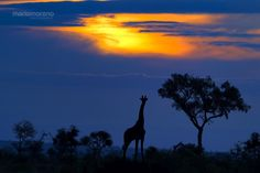 "Giraffe at Sunset - A Giraffe silhouetted against an iconic African Sunset. Image captured near Plains Camp, our base during the last photo tour conducted in Rhino Walking Safari's private concession in Kruger National Park. If you would like to join an upcoming photo safari please visit  -   <a href=""www.southcapeimages.com"" target=""_blank"">South Cape Images</a>"