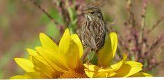 Bird on Sunflower