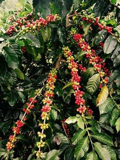 Red Green Coffee
