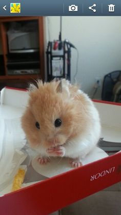 Hampster King George