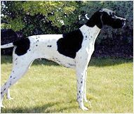 White Pointer Dog | English Pointer - Dog Breeds | Information about English Pointer Dogs ...