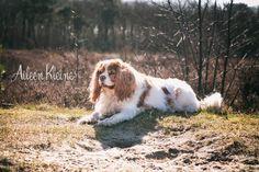 Phoebe lekker aan het zonnen  #cavalier king charles spaniel