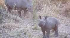 This one practicing its terrifying charge. | 23 Baby Rhinos That Will Make You Impossibly Happy