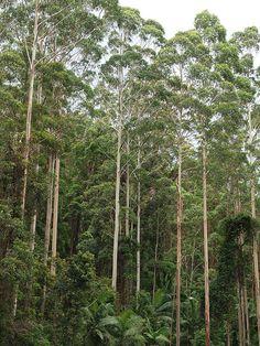 White Gum Trees Australian Native Flowers, Australian Bush, Forest Habitat, Forest Tattoos, Eucalyptus Tree, Land Of Oz, Woodland Decor, Green Landscape, Nature Tree