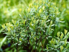 Porse (Myrica Gale) er en slægt af lave, løvfældende buske. Det er raklebærende planter, som i de fleste tilfælde har de hanlige og de hunlige blomster fordelt på hver sin plante. Der er altså tale om rent hanlige og rent hunlige planter, hvad der er ret ualmindeligt omend ikke helt usædvanligt i planteverdenen. Slægten har samliv med arter af strålesvampe, som gør det muligt for planten at udnytte luftens kvælstof. Det …