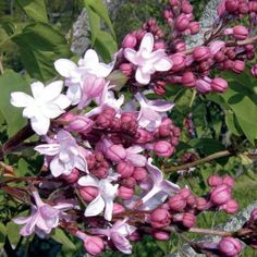 Sweetheart Lilac