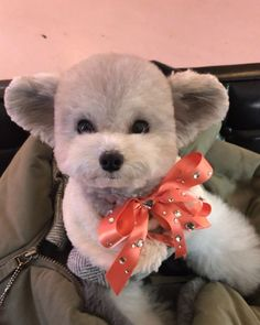 OMG, cutest toy poodle EVER! Click to see adorable VIDEO - spicedogsss @Instagram