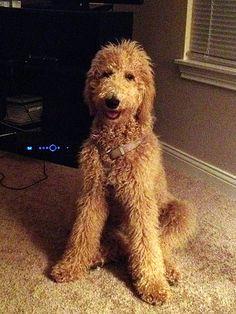 Ungroomed standard poodle