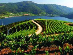 "Viñedos de Ribeiro al lado del mar Galicia Spain www.LiquorList.com ""The Marketplace for Adults with Taste!"" @LiquorListcom   #LiquorList.com"