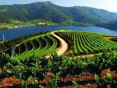 Viñedos de Ribeiro al lado del mar Galicia Spain