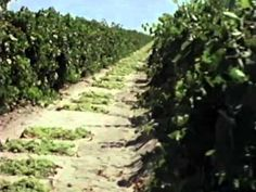 Video: Raisin Growing and Harvesting - How It Works - food production