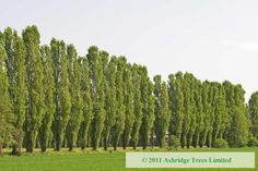 Image result for lombardy tree