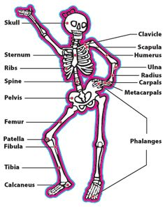human skeleton diagram labelling sheets | science activities, Skeleton