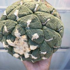 Ariocarpus lloydii seedling アリオカルプス 連山