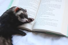"""the-book-ferret: """"The Book Ferret: Sleeping on books since June 2014 """""""