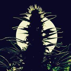 Bad moon tonight. #HappyHalloween Enjoy this rad #cannabis #silhouette . . #growyourown #cannabis #cannabiscommunity #cannabisculture #mmj #highlife #topshelf #marijuana #maryjane #highsociety #medicalmarijuana #weedporn #norml #budporn
