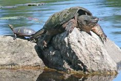 Snapping Turtles, Snapping Turtle Pictures, Facts, and Information . Alligator Snapping Turtle, Freshwater Turtles, Russian Tortoise, Cute Turtles, Terrapin, Turtle Painting, Frog And Toad, Animal Species, Crocodiles