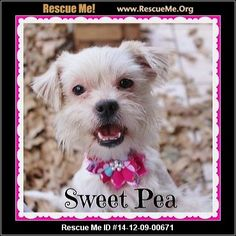 Sweetpea (female)  Maltese Mix  Age: Puppy  Compatibility:Good with Most Dogs, Good with Kids and Adults Personality:Average Energy, Average Temperament Health:Needs to be Spayed, Vaccinations Current  Sweet Pea is a super duper happy social butterfly that love people and dogs. She is affectionate, loves lap time, is very passionate when it comes to playing. She loves to wrestle and play chase. Sweet Pea wants to be with you and will follow you from room to room. She is smart…