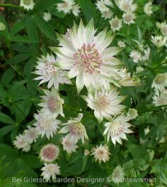 My favourite Astrantia - 'Buckland' has large white blooms edged with green surrounding delicate pink pincushions