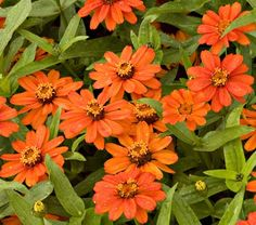 """Zinnia Profusion Orange.  Don't have yet, but think I'd like to add. 18"""" full sun. Blooms June-Sept."""