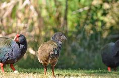 Sammy, the first Takahe chick to hatch at Wairakei Golf + Sanctuary. Photo taken by Neil Moffat, January Fallow Deer, Guinea Fowl, January 2016, Color Mixing, Wildlife, Golf, Animals, Animaux, Animal