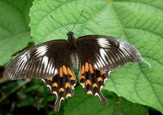 Common_Mormon_Papilio_polytes_Female_Form_Romulus_by_kadavoor.jpg (3405×2401)