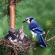 The Blue Jay is one of the most colorful birds to nest in our backyards and to visit our feeders. Considered by some to be a bully at the bird feeder, most birdwatchers welcome this beautiful blue and white bird to their yards. Placing peanuts on a platform feeder is the best way I know to attract this bird for easy viewing.