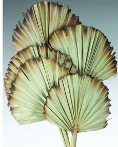 Include Palm Leaf Fans in your bouquets, centerpieces and decor to bring a tropical vibe to your home or event.  These burnt palm fans are big statement pieces and are available in a variety of colors. Check them out now!⁣ ⁣ ⁣ #driedflowers #driedplants #flowerlovers #homedecor #driedflowerdesign #floraldesign #flowerarrangement #diyhomedecor #diycrafts #flowers #weddinginspo #weddingreception