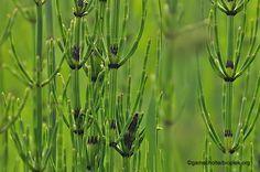 KRUIDEN - INFORMATIE    HEERMOES ( Equisetum arvense )    Heermoes  is een plant uit paardenstaartenfamilie ( Equisetaceae ). Ook wel r...