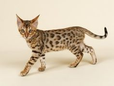 Just like people and all other creatures great and small, the normal genetic sequencing and physical appearance of the cat will occasionally throw up an a...