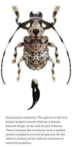 onychocerus albitarsis